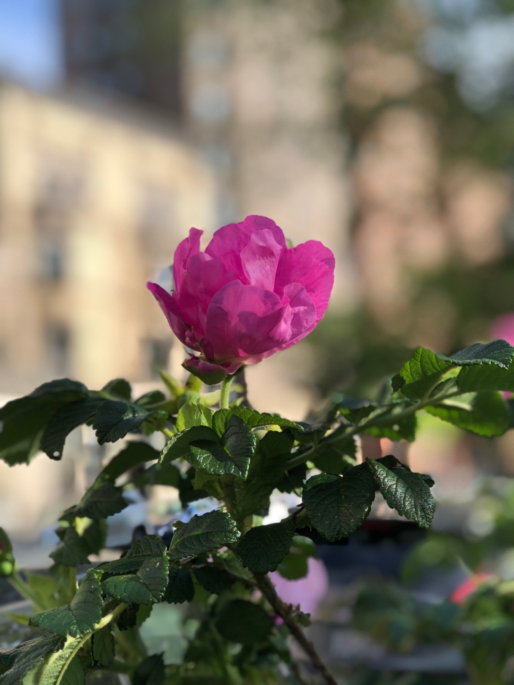 rosa rugosa, which is a very tough and shoreline tolerant rose. It's non-native, but has naturalized in many beach areas on the East Coast.